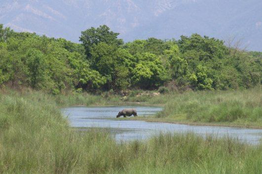 Bardia Nationaal Park - Neushoorn in rivier