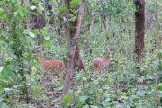 Herten in Chtiwan Nationaal Park Nepal