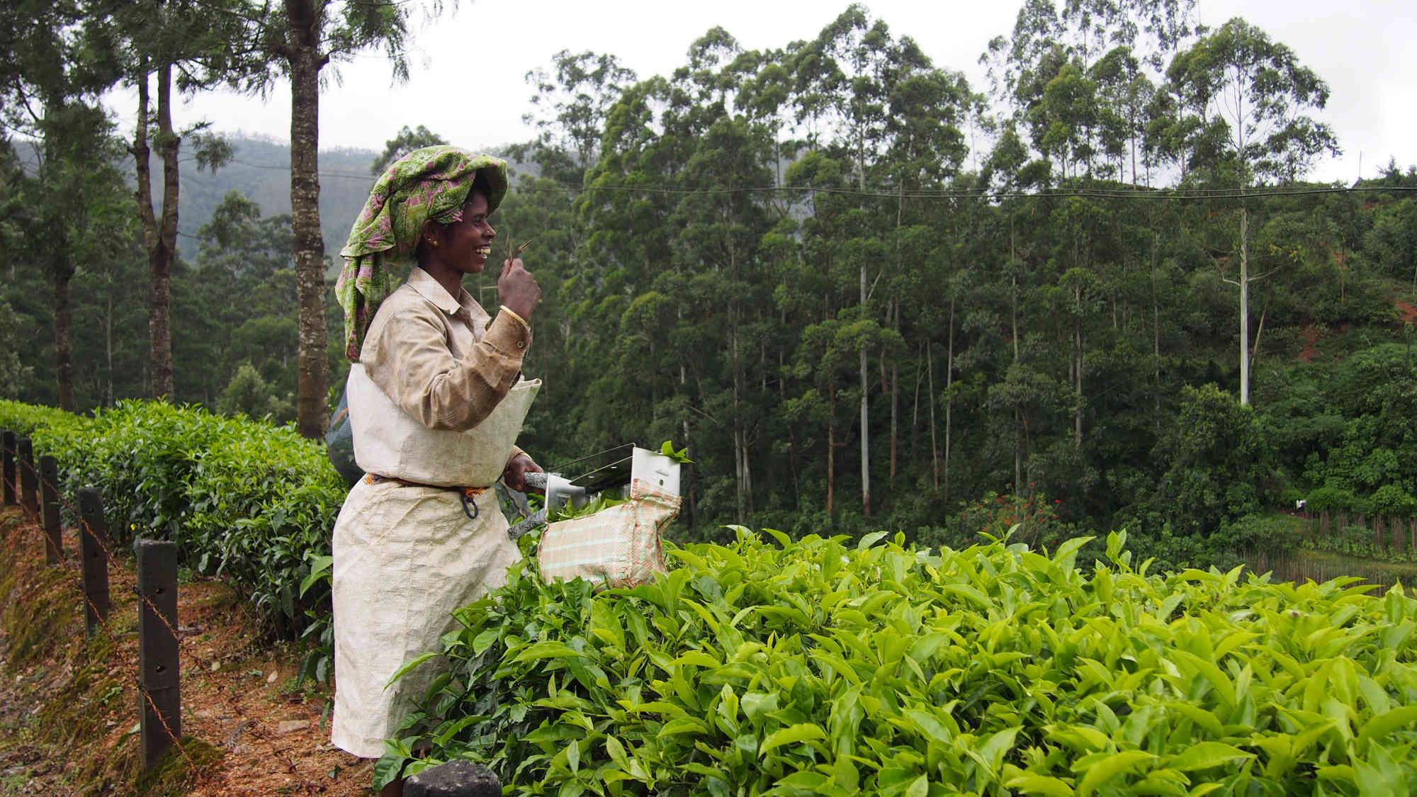 India Kerala Munnar Theeplantage vrouw