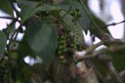 India Kerala Periyar koffieplantage