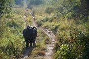 Kathmandu - Chitwan Nationaal Park - Neushoorn