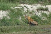 Nepal - Bardia Nationaal Park - Bengaalse tijger