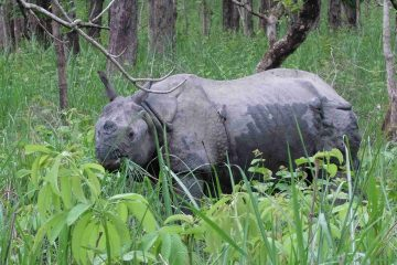 Neushoorn Chitwan Nationaal Park Nepal
