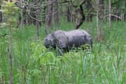 Neushoorn in Chiwan Nationaal Park Nepal