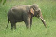 Olifant in Bardia Nationaal Park Nepal