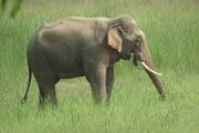 Olifant in Bardia Nationaal Park Nepal