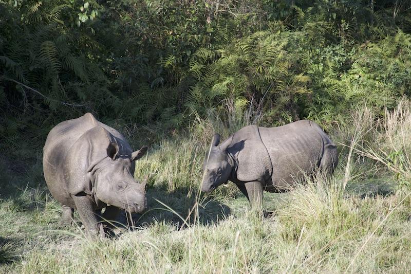 Neushoorns Chitwan