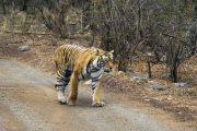Tijger in Ranthambore Nationaal Park India