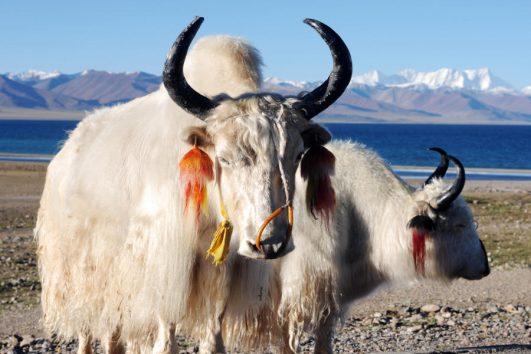 Tibetaanse yaks bij Yamdrok meer